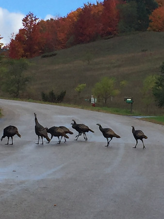 Why did the turkeys cross the road? Photo by Bill Greene.
