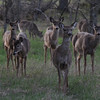 Deer feast on greens in early spring. Photo by Heather Spaleny.