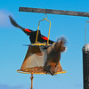 A red-winged blackbird and a squirrel share lunch on a sunny day. Photo by Cathy McKinley.