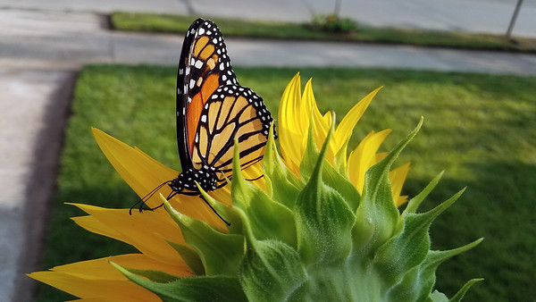 A monarch butterfly takes a break on a sunflower in Traverse City. Photo by Jerry Mikowski.
