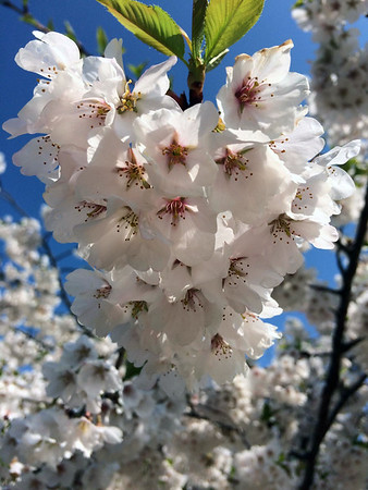 Cherry blossoms in a spring orchard. Photo by Jacob VanVynckt.