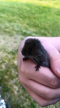 Charlie Rozanski found this baby shrew in the yard. Photo by Steve Rozanski.