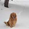 Darwin the golden retriever enjoys a family walk at F & M Park in Traverse City. Photo by Emily Taphouse.