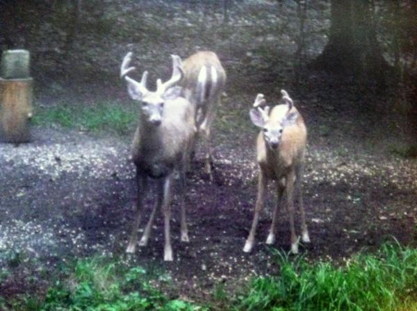 Deer visit the Long Lake woods. Photo by Dennis Sobolewski.
