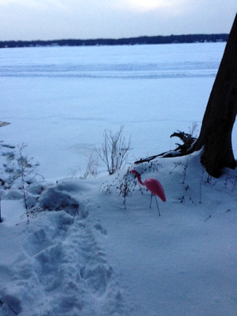 A lawn flamingo searches for snow shrimp on Long Lake. Photo by Lynn Huffman.