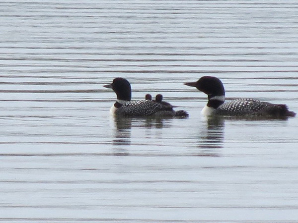 Loons swim with their chicks on Birch Lake. Photo by Cindy and Mike Keilen.