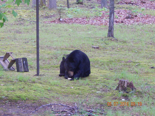 A bear visits a backyard. Photo by Audrey Hollyfield.