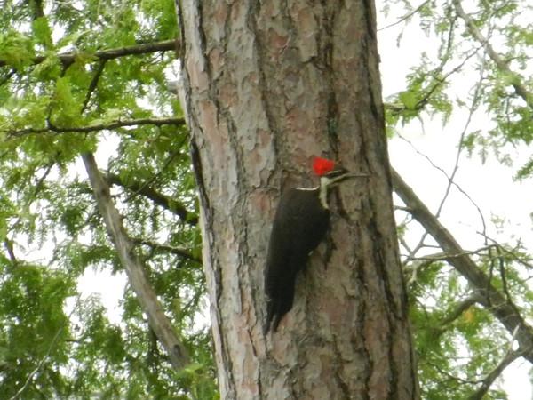 tcrGOeyes woodpecker 0826