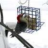 A red-bellied woodpecker taken from inside a village of Empire home.  Photo by Bill Dickinson.