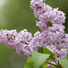 Lilacs in Leelanau. Photo by Jennifer Grochowalski.