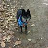 Dog Yogi enjoying a hike on Old Mission Peninsula. Photo by Marsha Wheaton.