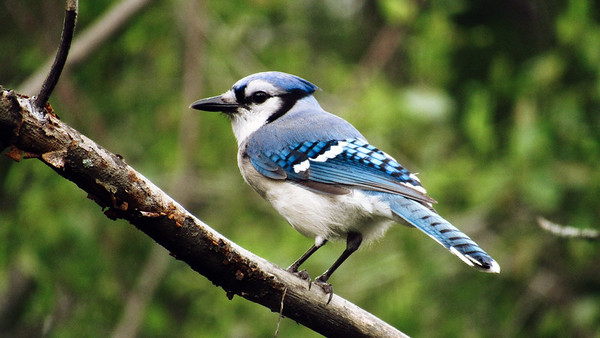 A bluejay perches on a brach. Photo by Michael Novak.