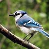 A bluejay perches on a brach. Photo by Michael Novak.
