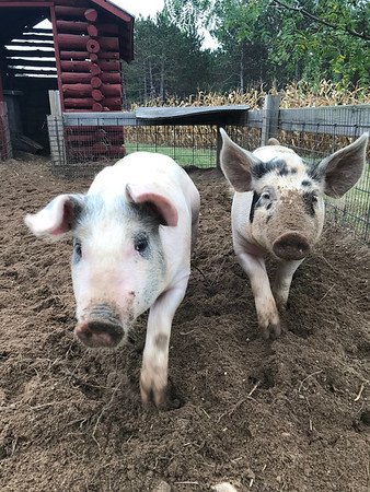 Two pigs play at Pahl's Pumpkin Patch this fall. Photo by Charlie Misky.