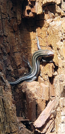 A five-lined skink at Boardman River. Photo by Sheryl Evans.