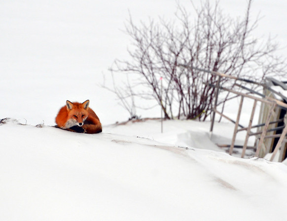 A fox rests on Crystal Lake beach on Mollineaux Road in Frankfort.  Photo by Martha Mollema.