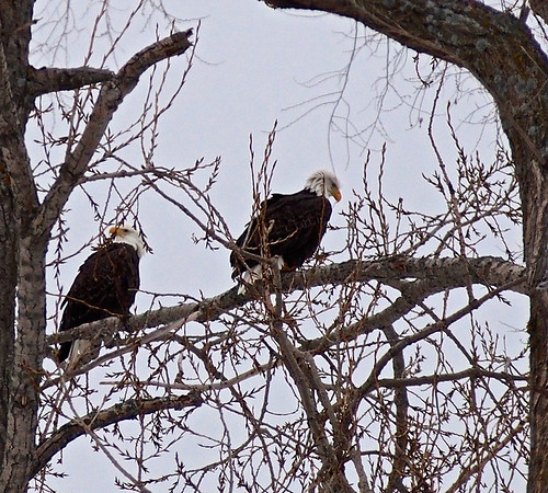 A pair of eagles perch near Crain Hill Road. Photo by Cathy McKinley.