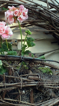 A morning dove nested in a flower basket. Photo by Carla Wood Bartell.