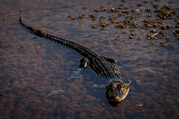 Vacation shot of an alligator at Merit Island National Wildlife Refuge, Florida. Photo by Chris Brown.