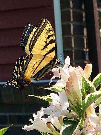 A western tiger swallowtail was spotted in Rapid City. Photo by Sue Gates.