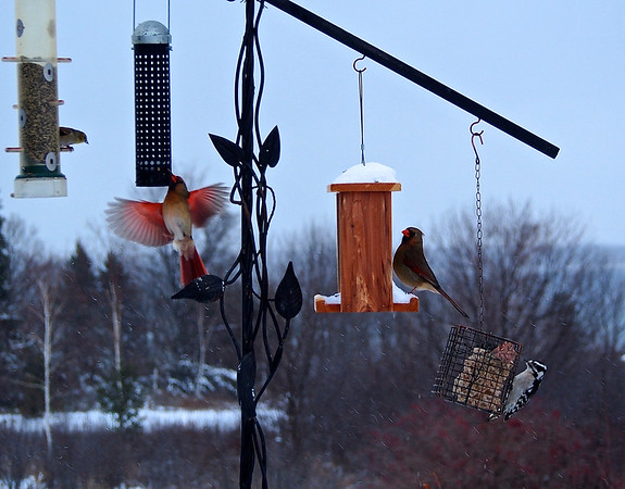 A cardinal couple, a woodpecker and a finch dine together. Photo by Cathy McKinley.