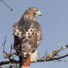 A red tailed hawk perches in the Upper Peninsula. Photo by Jennifer Grochowalski.