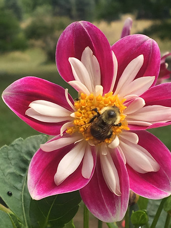 A bee pollinates a flower. Photo by Gary Kent Keyes.