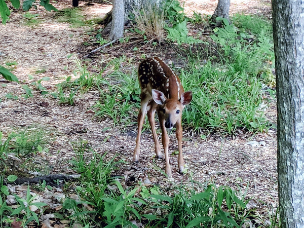A curious fawn near Green Lake in Interlochen. Photo by Charles Graham.