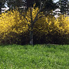 A giant forsythia bush at Treat Farm in the Sleeping Bear Dunes National Lakeshore. Photo by Louise Holder.