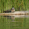 A female duck is spotted resting along the Platte River. Photo by Brenda Wade.