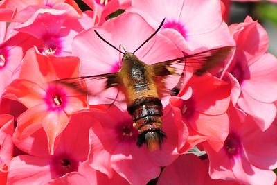tcrGOeyes 0809 hummingbird moth