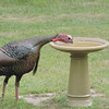 A turkey stops by a local watering hole. Photo by Edwin Hughes.