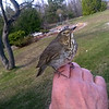 A hermit thrush in the hand. Photo by Don Montie.