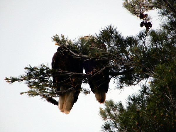A pair of eagles along the Long Lake Peninsula shoreline. Photo by Lynn Huffman.