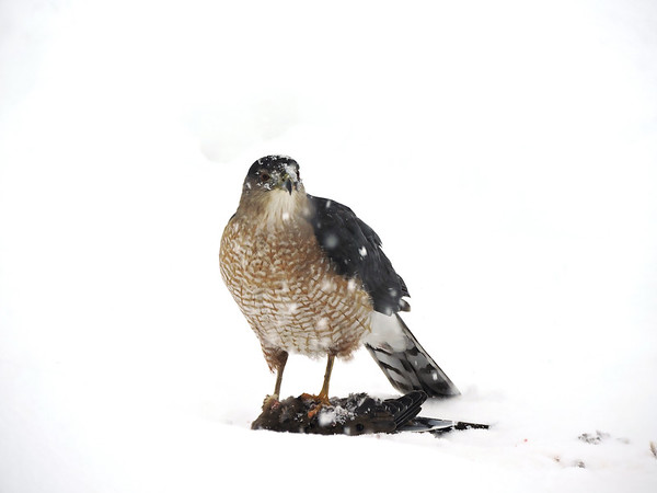 A hawk grabs a snack at my bird feeding station. Photo by Edwin Hughes.