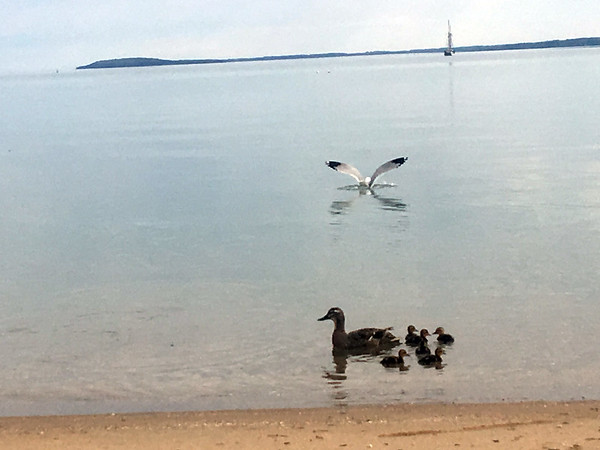 A seagull lands near a mother duck and her ducklings. Photo by Gary Kent Keyes.