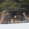 A group of deer scuffle when the snow was still on the ground. Photo by Brianna Adams.