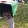 Two broods of robins were raised in their very own Record-Eagle home at the end of a Lake Skegemog driveway. Mom and the children have left the nest but the home is back on the market. <br /> Photo by Nancy Ryan.