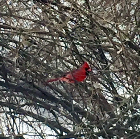 A cardinal provides a bright spot on an otherwise gray day in Traverse City. Photo by Jan Zolik.