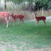 A doe and twin fawns under an apple tree in a Frankfort backyard. Photo by Kristine O. Clark.