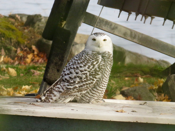 A snowy owl popped up on a sailboat one morning. Photo by Leslie Heimburger.