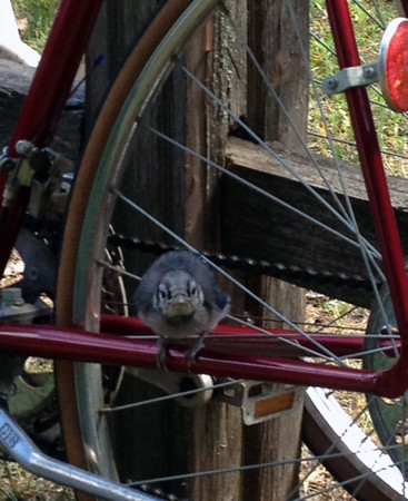 A baby blue jay hanging out on a bike in the Boardman neighborhood. Photo by Rose Hollander.