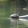 A turtle is spotted along the Platte River on a paddle. Photo by Brenda Wade.