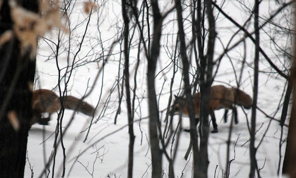 A pair of foxes play in an April snow. Photo by Jennifer Grochowalski.