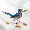 A bluejay enjoys a nutty snack. Photo by Bruce Laidlaw.
