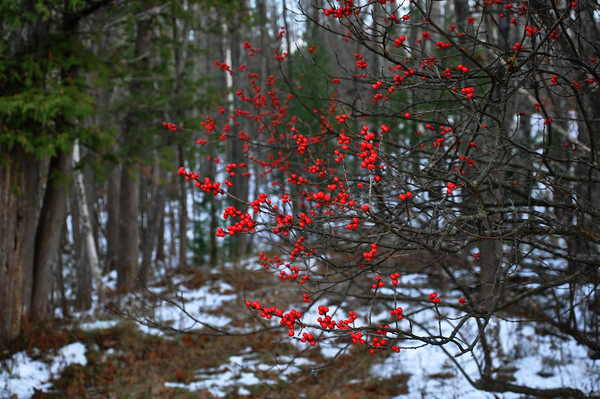 Berries in the forest. Photo by Heather Spaleny.