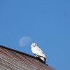 A snowy owl rests on a barn last summer. Photo by Mary Roberts.