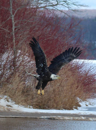 Wings of Wonder released a bald eagle to ring in the New Year. Photo by Julie Fleck.
