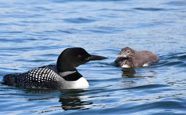 An adult loon and one of its offspring. Another chick and the loons other half were nearby. Photo by Howard Cousineau.