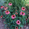 Coneflowers near the Traverse Area District Library. Photo by Emily Taphouse.